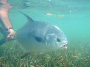 Huge Permit Fish